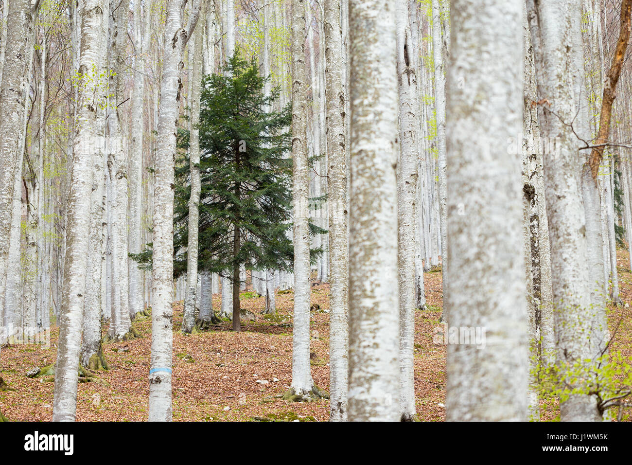 White spruce. Abies alba. Beech forest, Fagus sylvatica. Cansiglio. - Stock Image