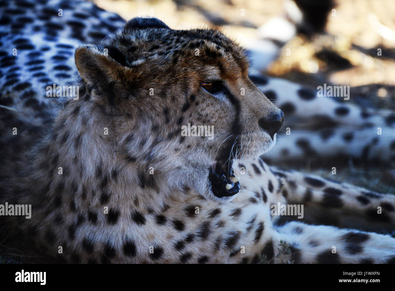 A beautiful cheetah in South Africa. - Stock Image