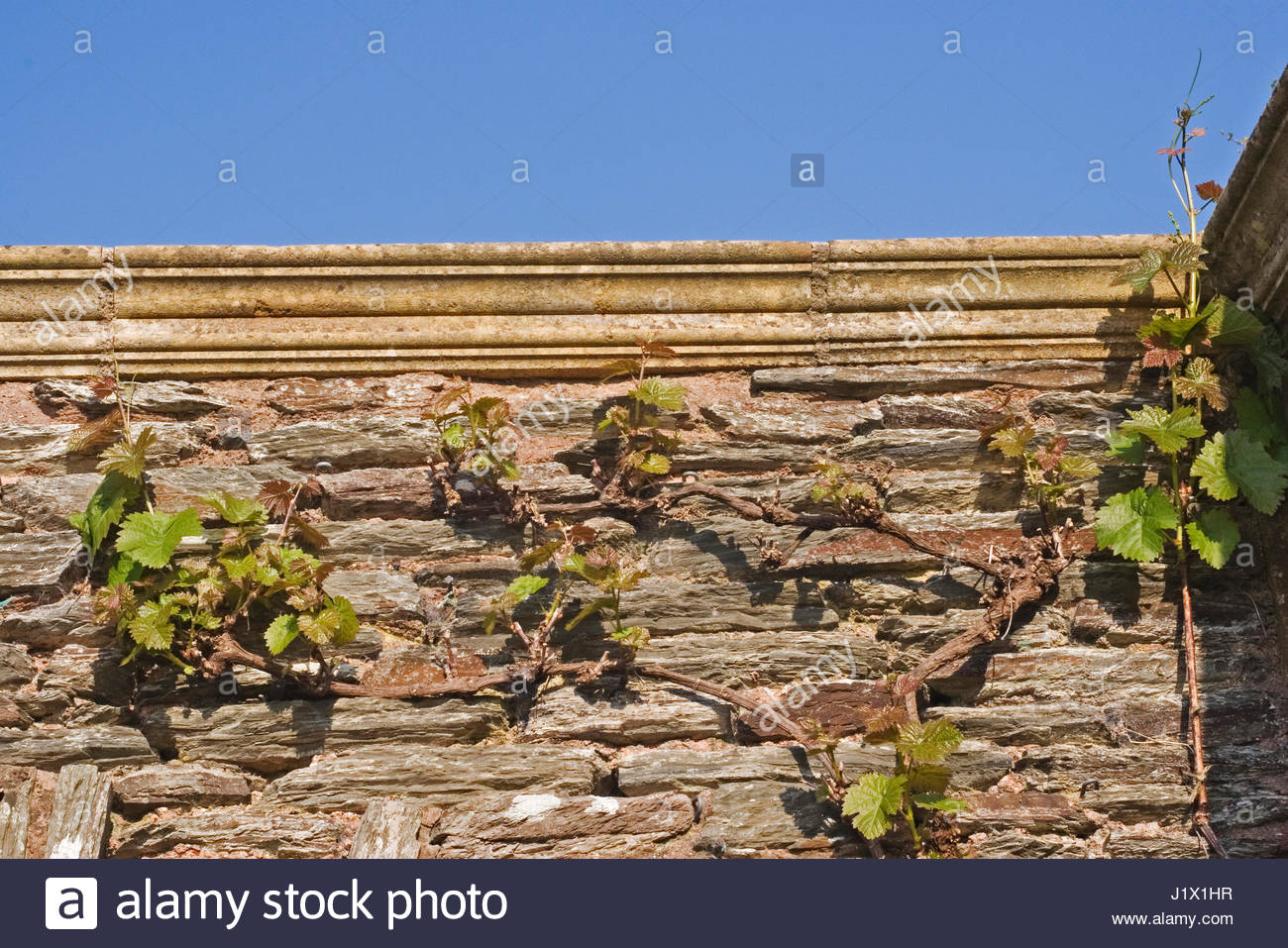 VITIS VINIFERA (GRAPE VINE) AGAINST A WALL AT HESTERCOMBE GARDEN ...