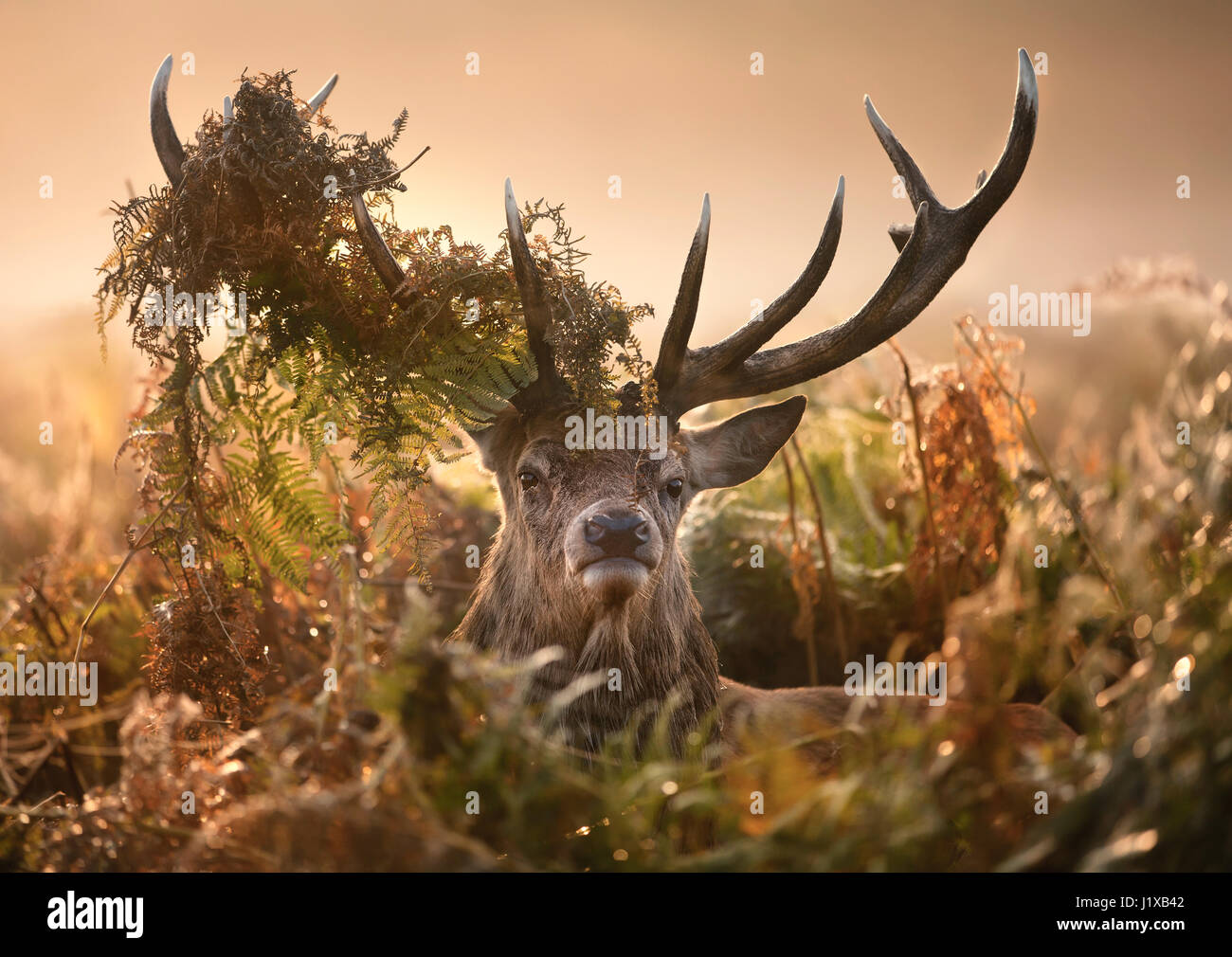Portrait of red deer with a crown of ferns - Stock Image