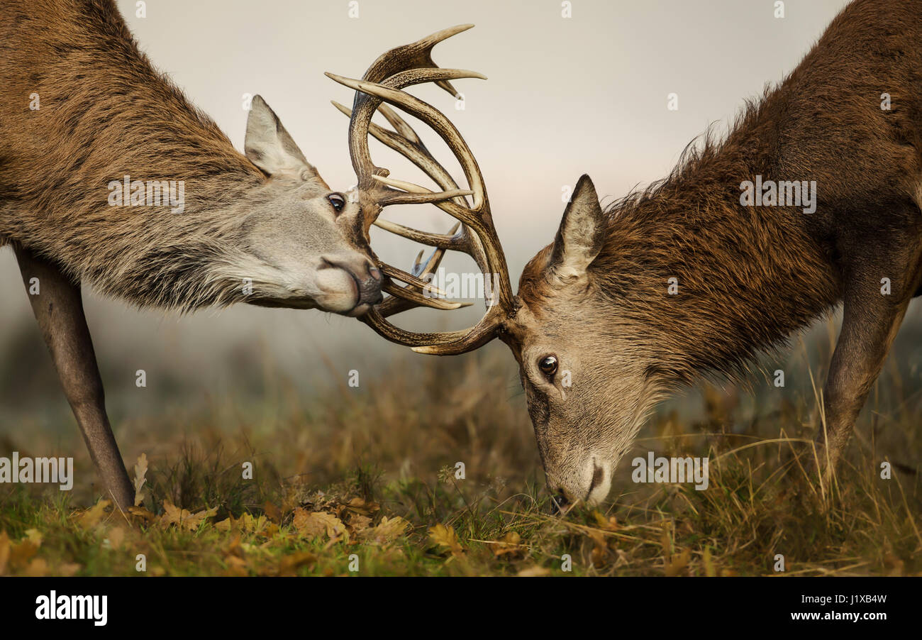 Red deer fight during the rut - Stock Image