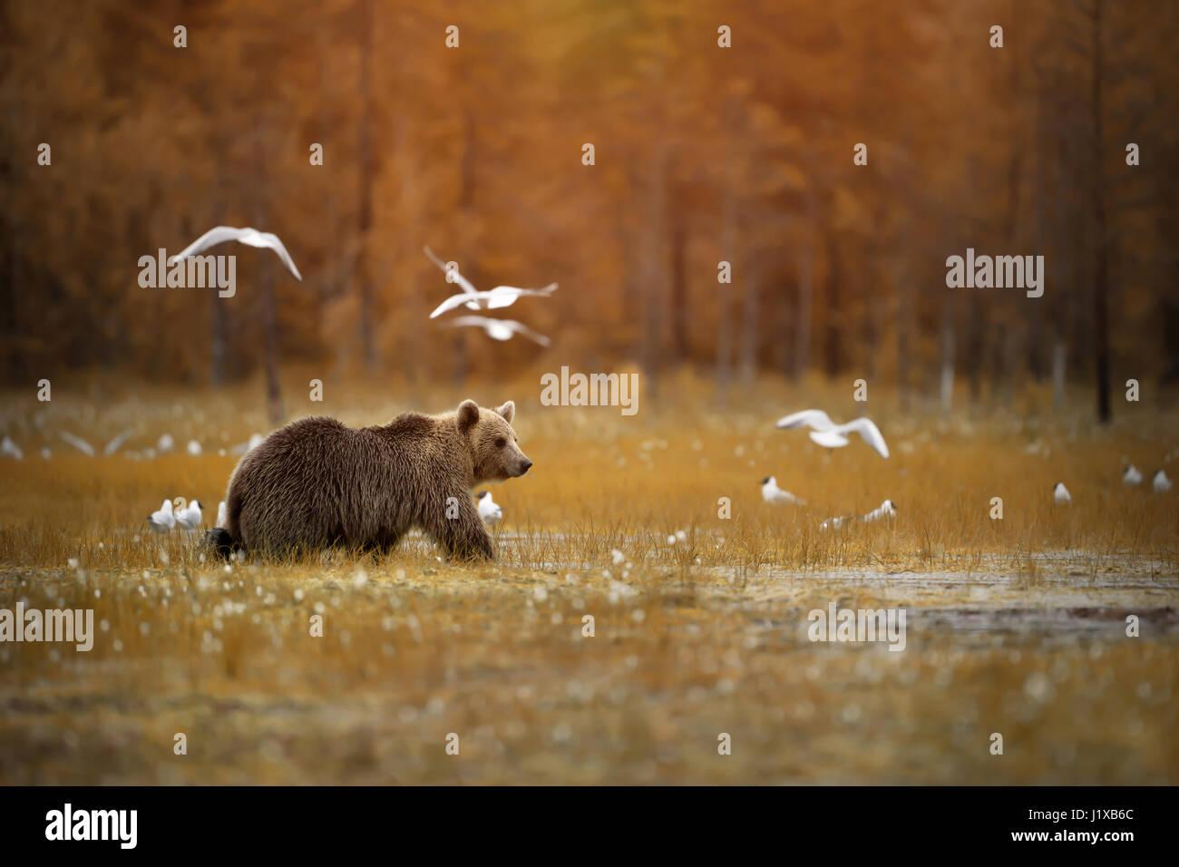 Brown bear crossing the swamp - Stock Image