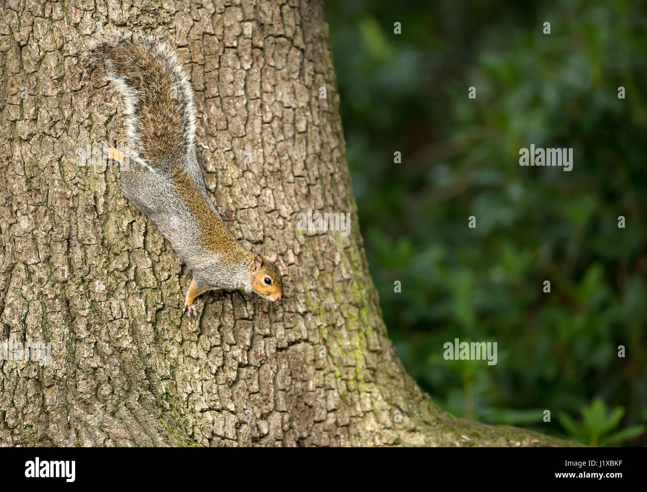 Grey Squirrel on a tree - Stock Image