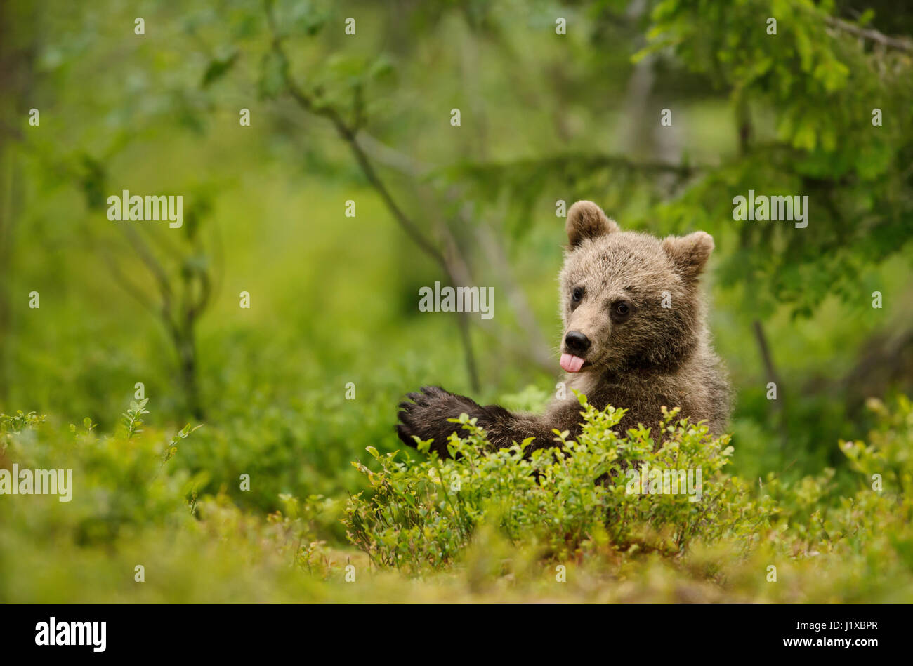 Brown bear cub sticking out the tong - Stock Image