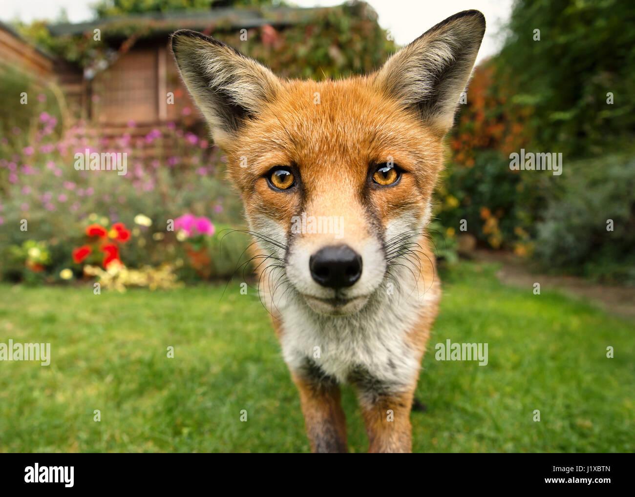 Portrait of red fox - Stock Image
