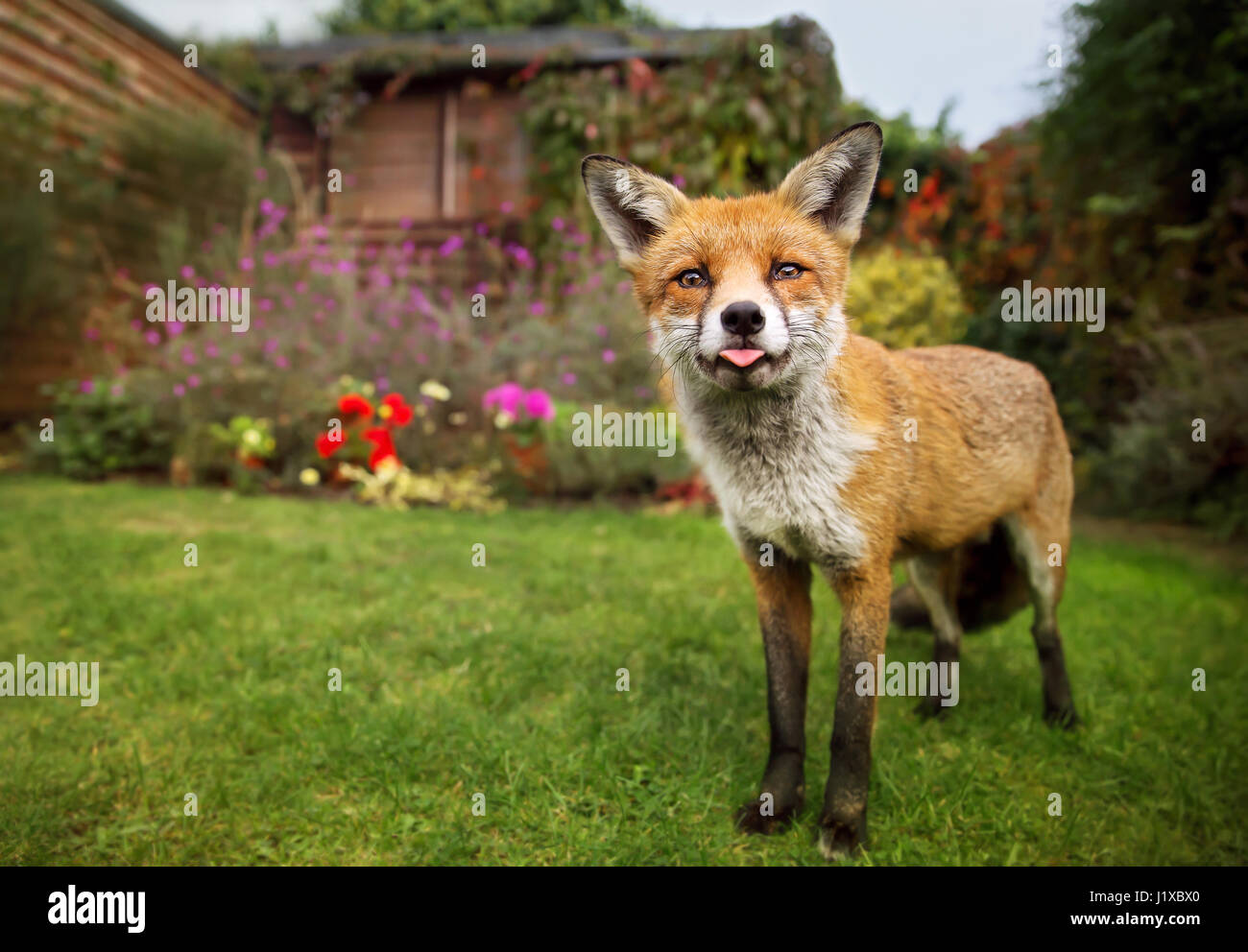 Portrait of red fox sticking out the tong - Stock Image