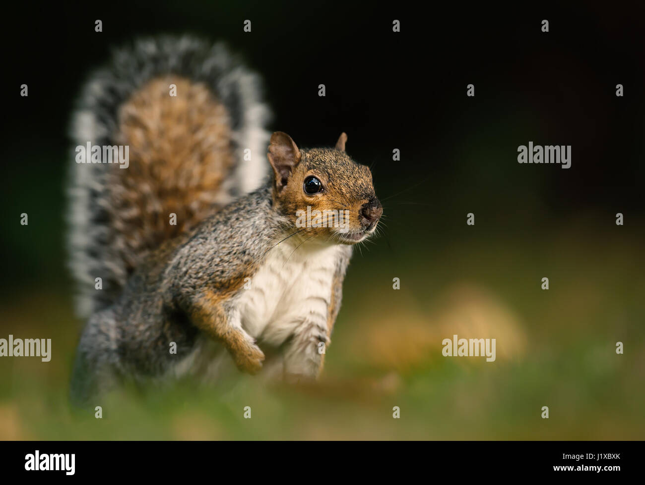Grey squirrel in the meadow with a bushy tail up - Stock Image