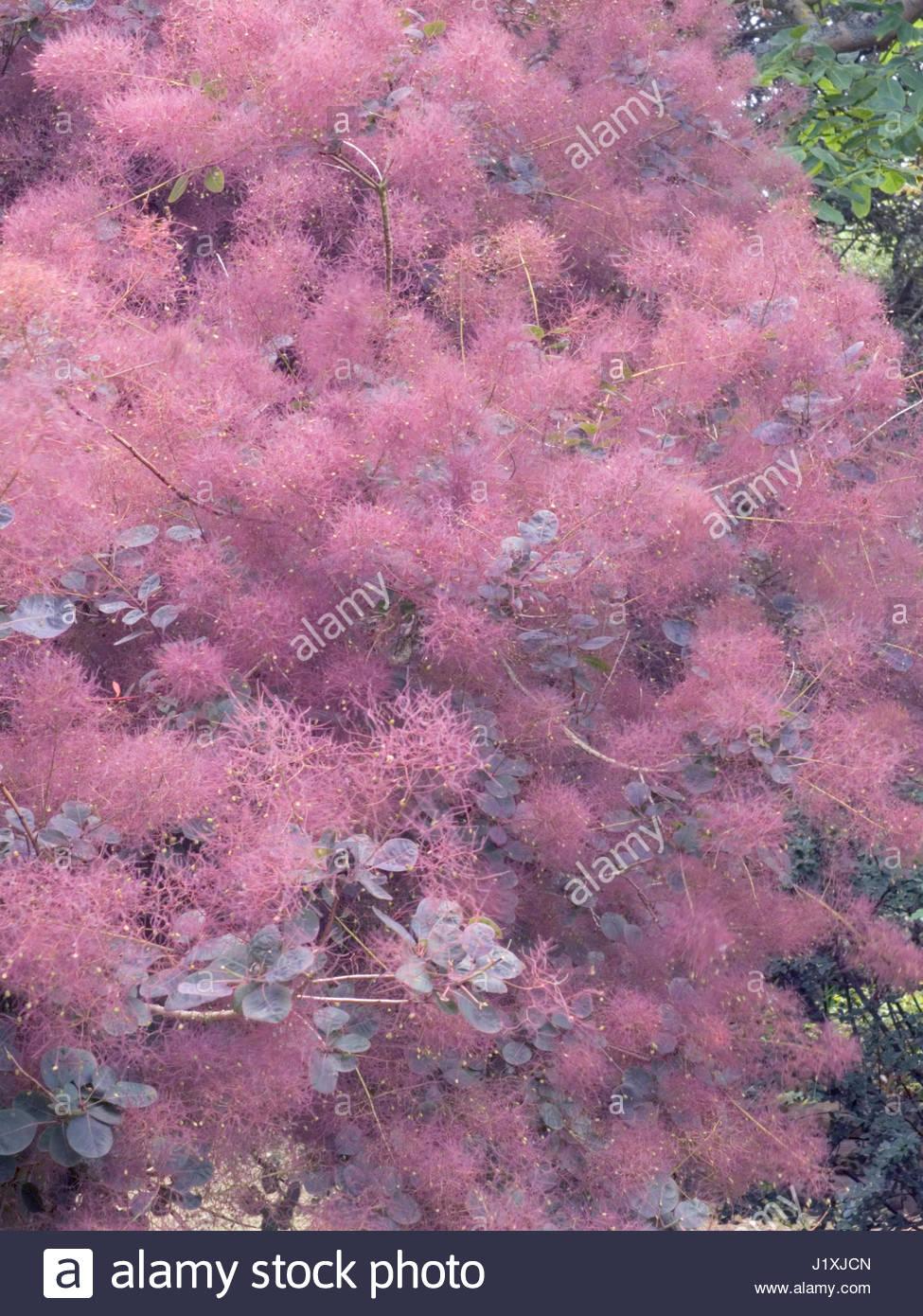 Purple smoke bush stock photos purple smoke bush stock images cotinus coggygria foliis purpureis purple smoke bush stock image mightylinksfo