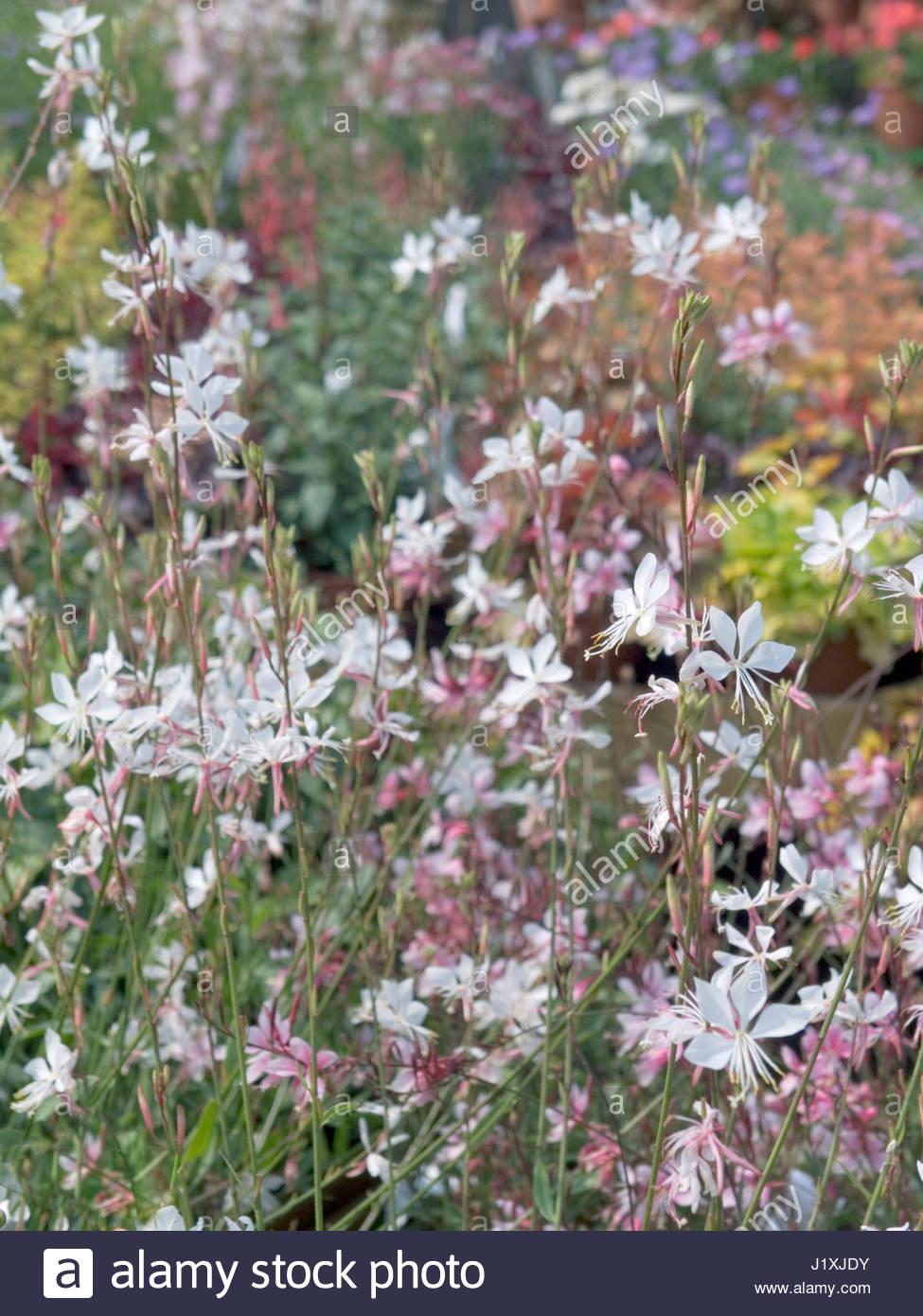 Gaura lindheimeri whirling butterflies hardy perennial stock photo gaura lindheimeri whirling butterflies hardy perennial mightylinksfo