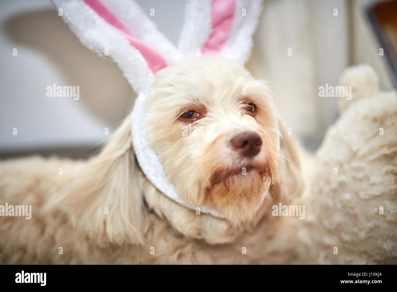 havanese dog with funny easter bunny ears stock photo 138883756 alamy