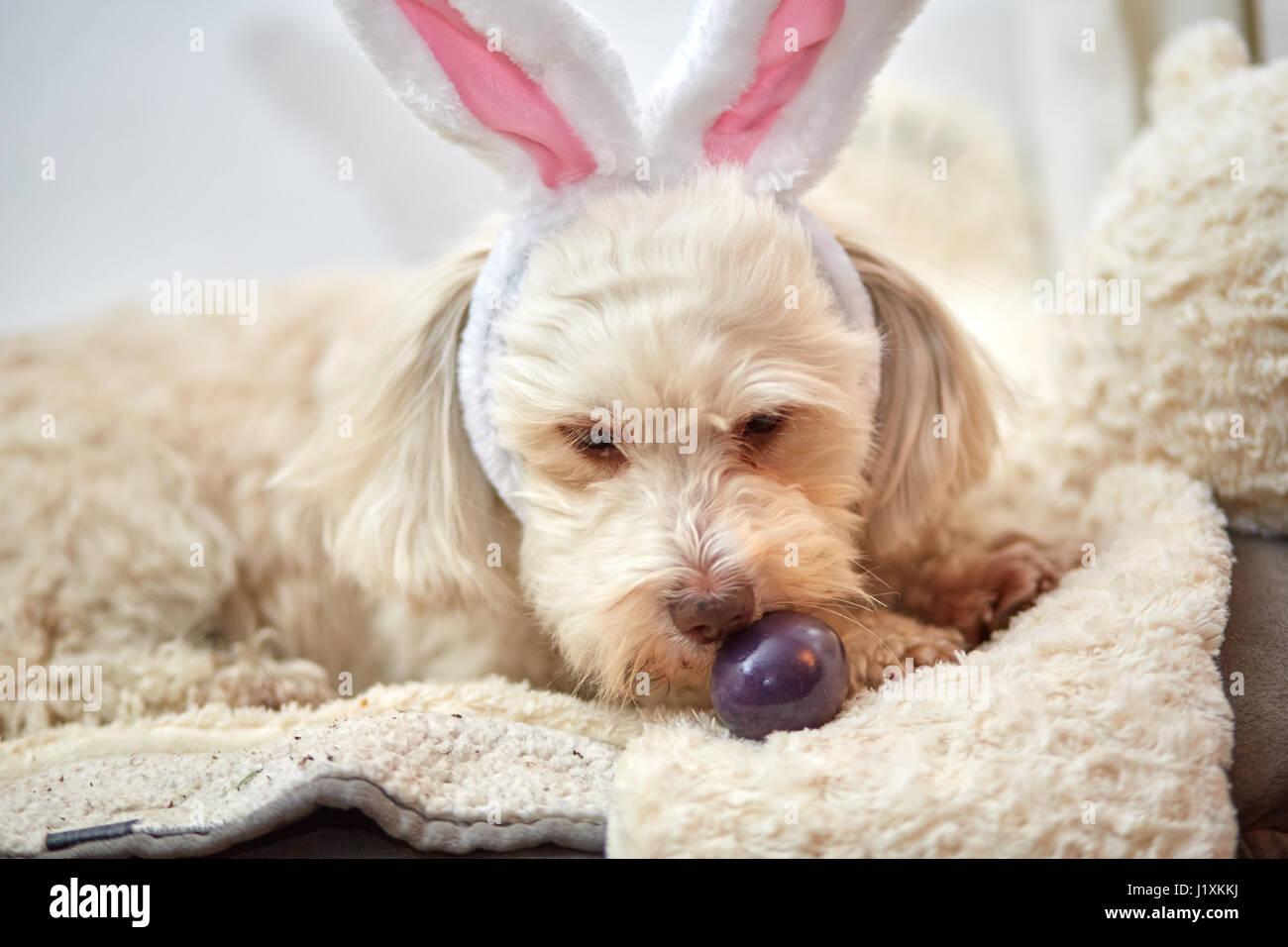 havanese dog with funny easter bunny ears stock photo 138883798 alamy