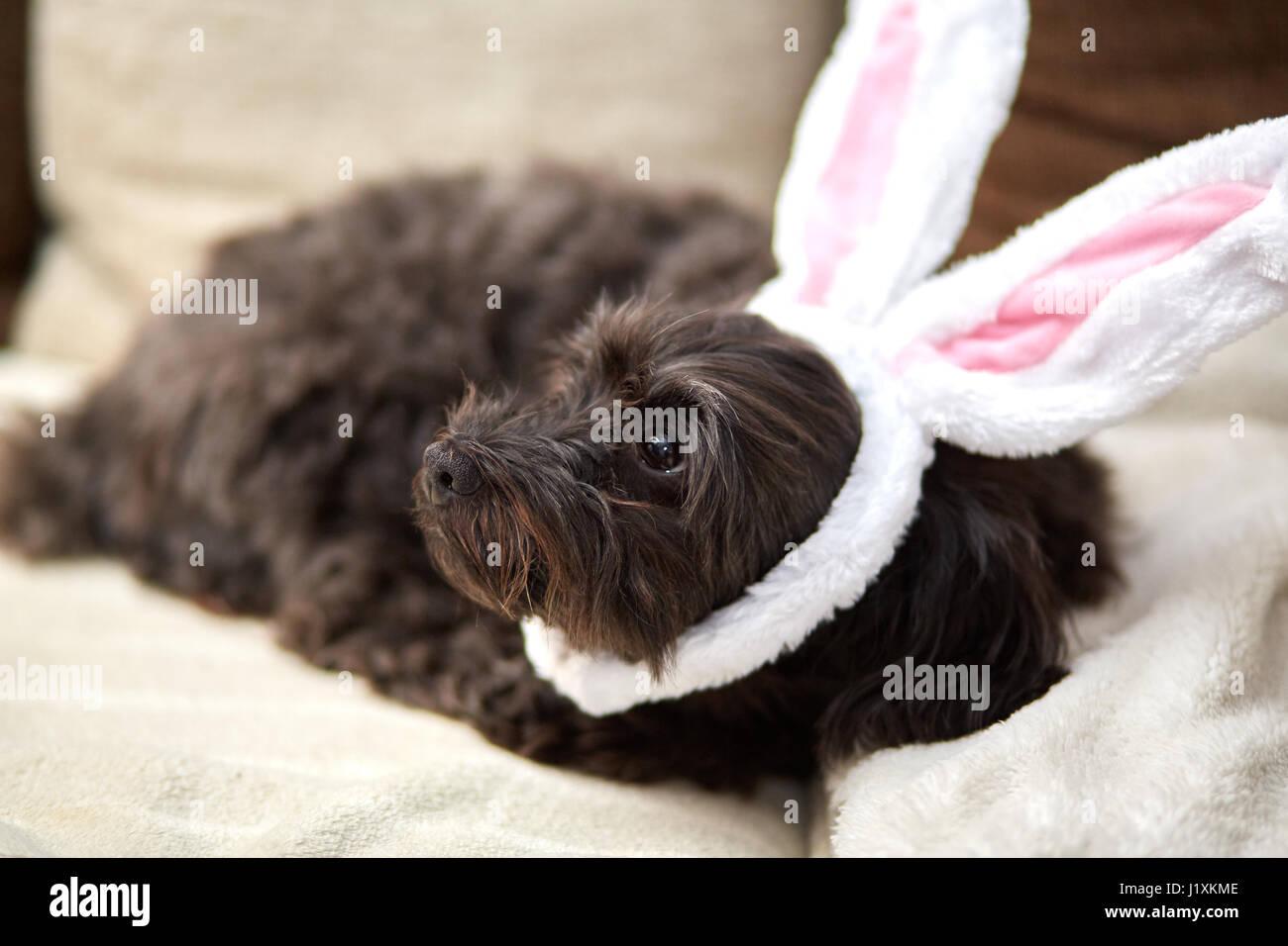 havanese dog with funny easter bunny ears stock photo 138883822 alamy