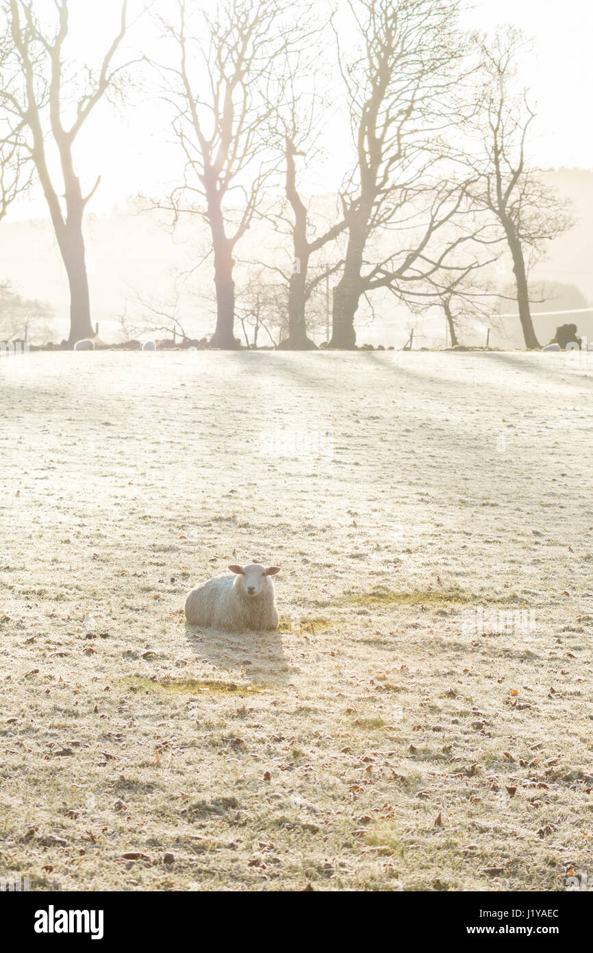 Frosty morning in bright sunshine - sheep and marks of where frost has melted where sheep have been laying - Campsie - Stock Image