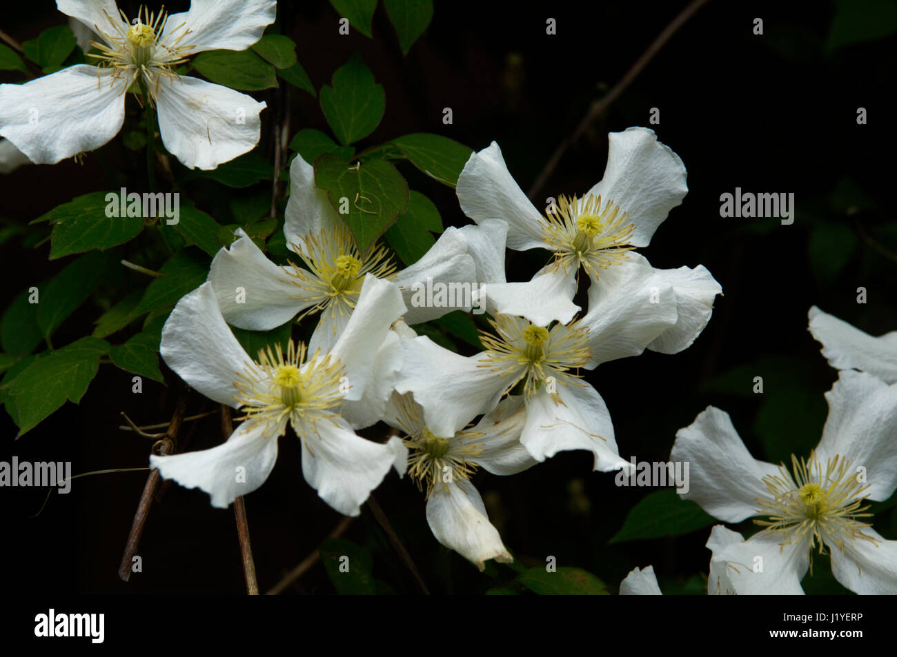 A group of clematis flowers with delicately patterned white petals - Stock Image