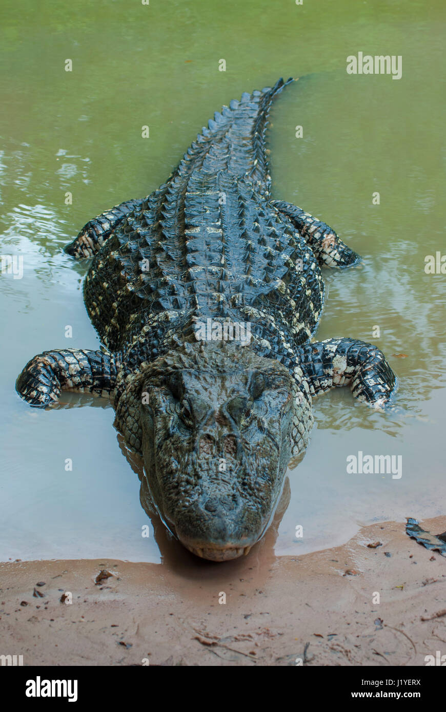 Black caiman (Melanosuchus niger) in the water at the river edge - Stock Image