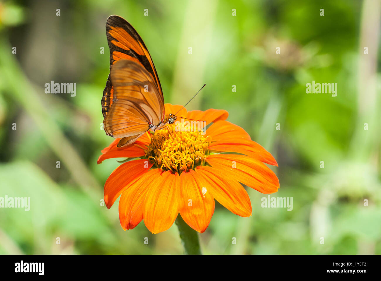Profile view of a Julia butterfly (Dryas iulia) feeding on nectar from an orange coloured flower - Stock Image