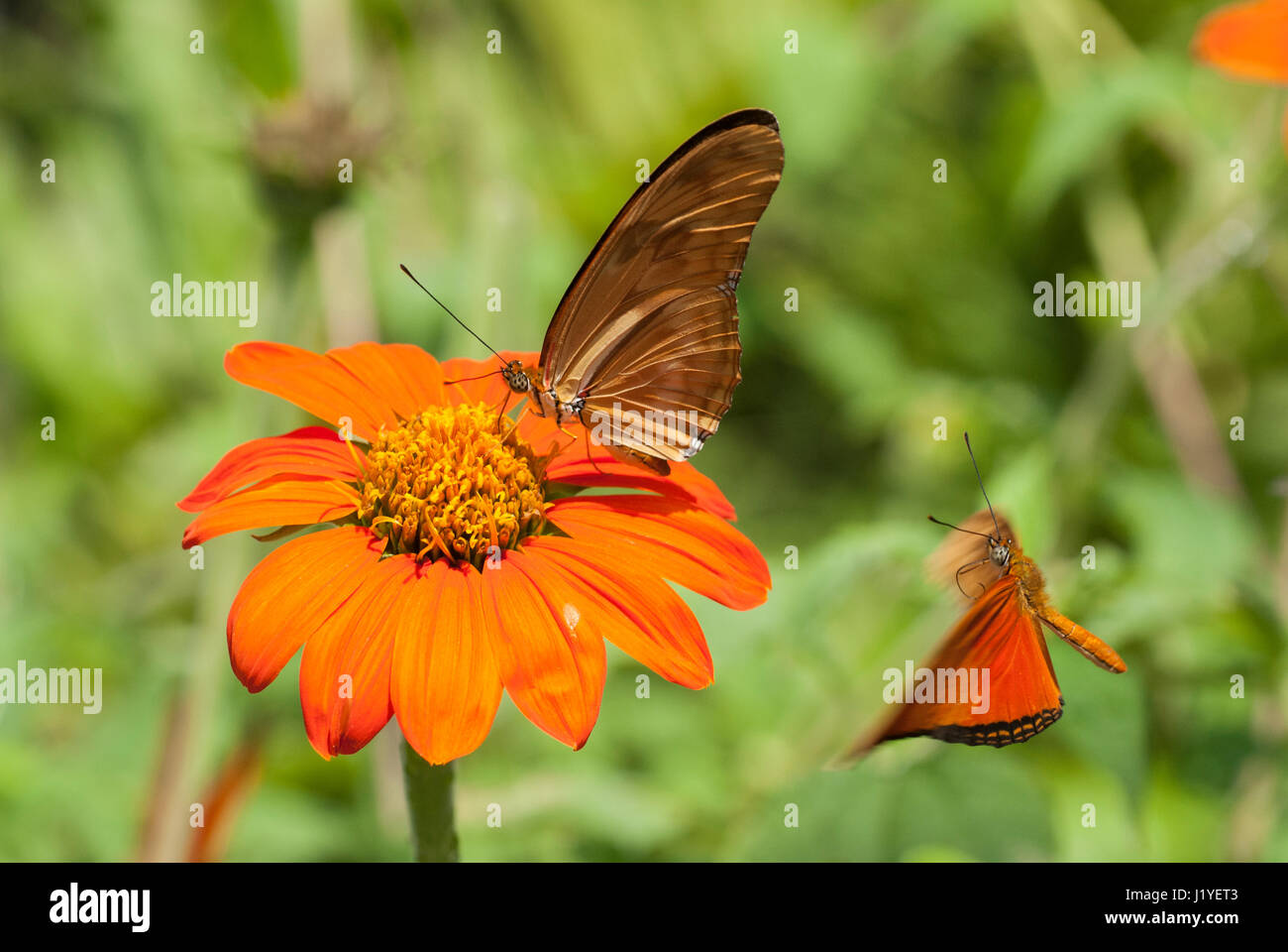 Julia butterfly (Dryas iulia) feeding on nectar from an orange coloured flower while another Julia flies towards - Stock Image
