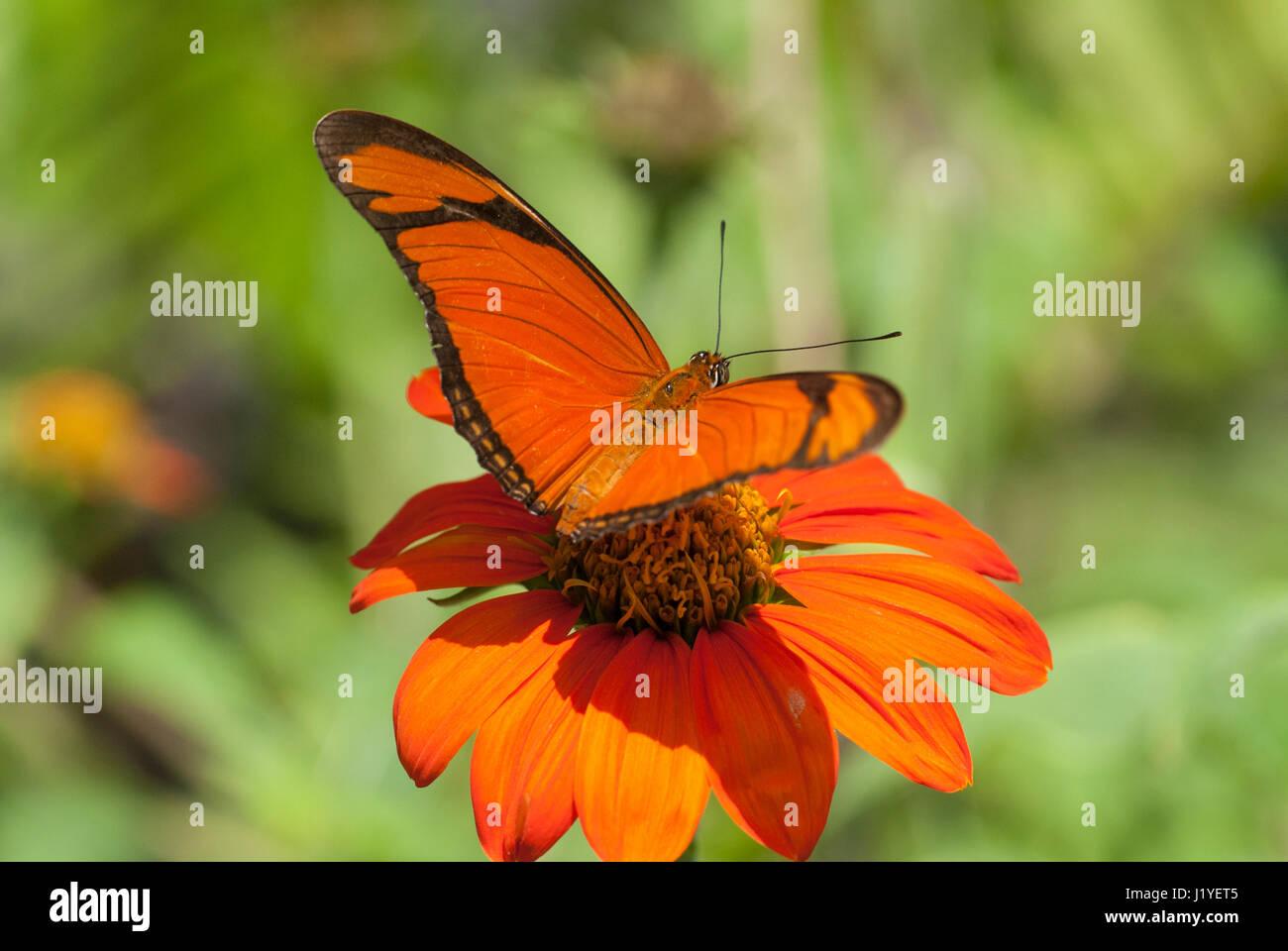 Julia butterfly (Dryas iulia) feeding on nectar from an orange coloured flower - Stock Image