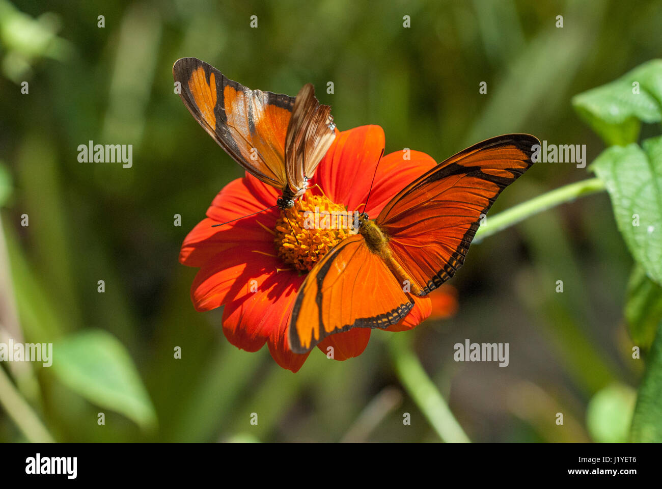 A pair of Julia butterflies (Dryas iulia) feeding on nectar from an orange coloured flower - Stock Image