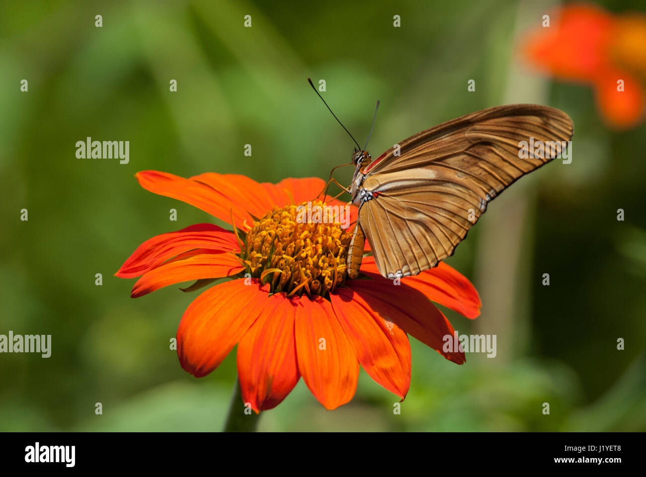 Julia butterfly (Dryas iulia) feeding on nectar from an orange coloured flower with wings folded - Stock Image