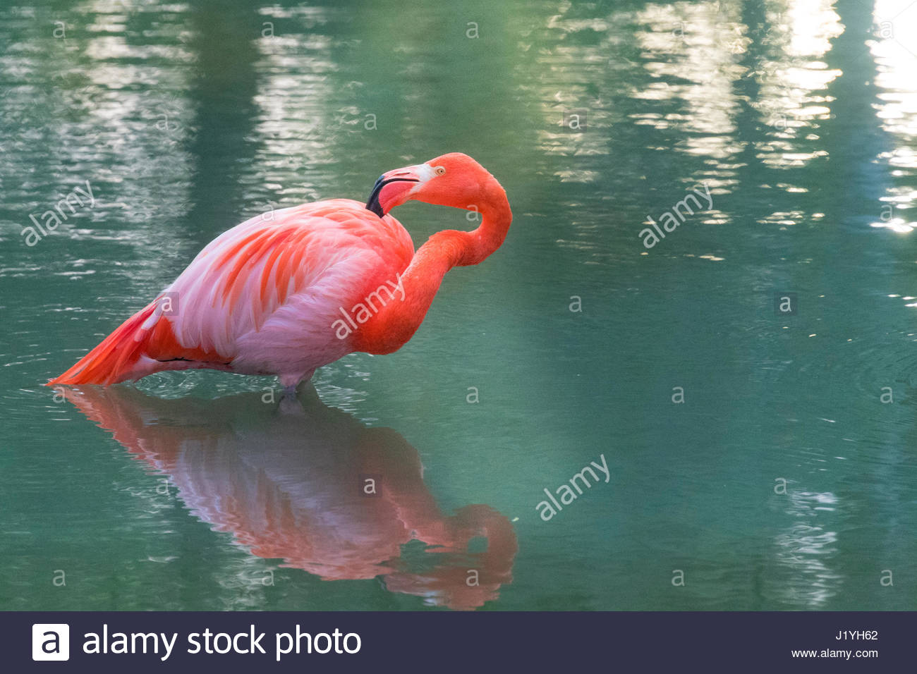 Colorful flamingo bird in a Cuban lake. Flamingos or flamingoes are a type of wading bird in the family Phoenicopteridae, - Stock Image