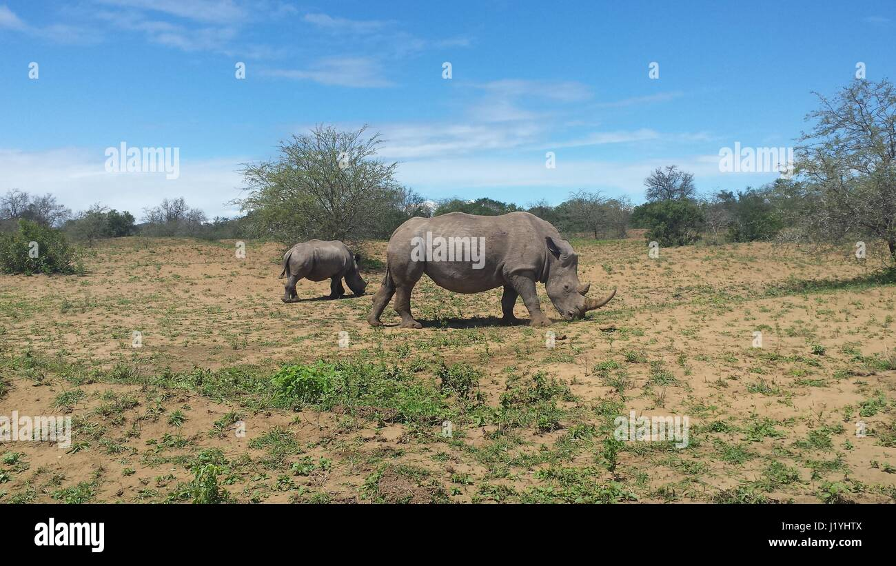 rhinos grasing on a country side in south africa Stock Photo