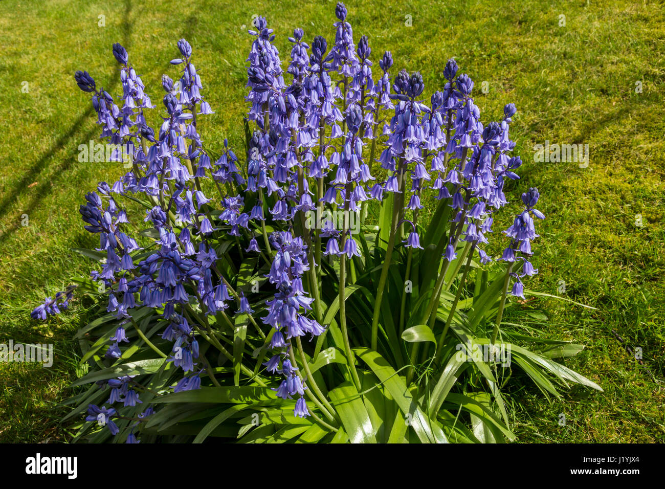 Cultivated large bluebells in a garden, Hyacinthoides non-scripta - Stock Image