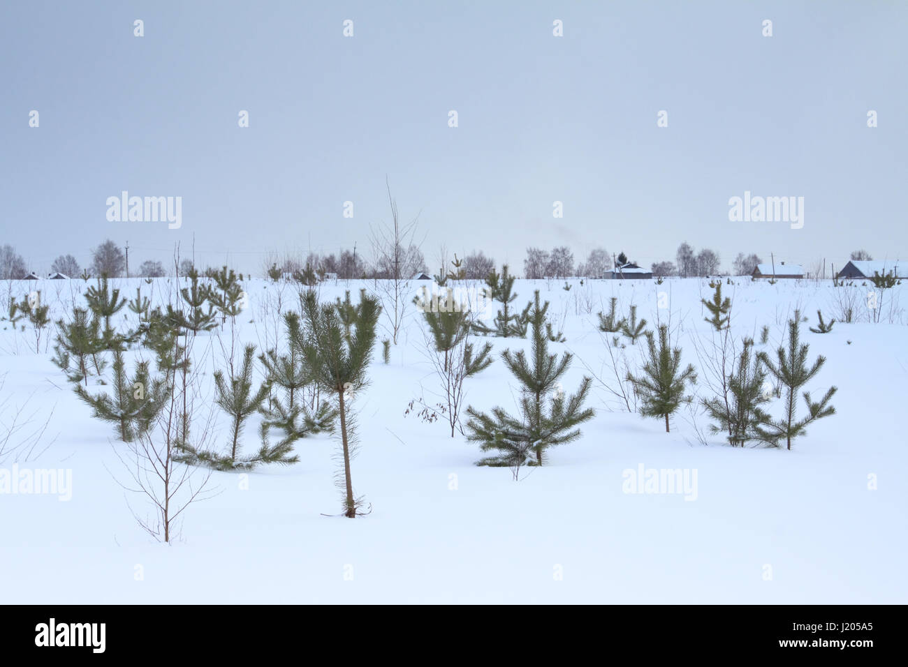 Rural winter scenery with a view of small spruces and a village in the distance - Stock Image