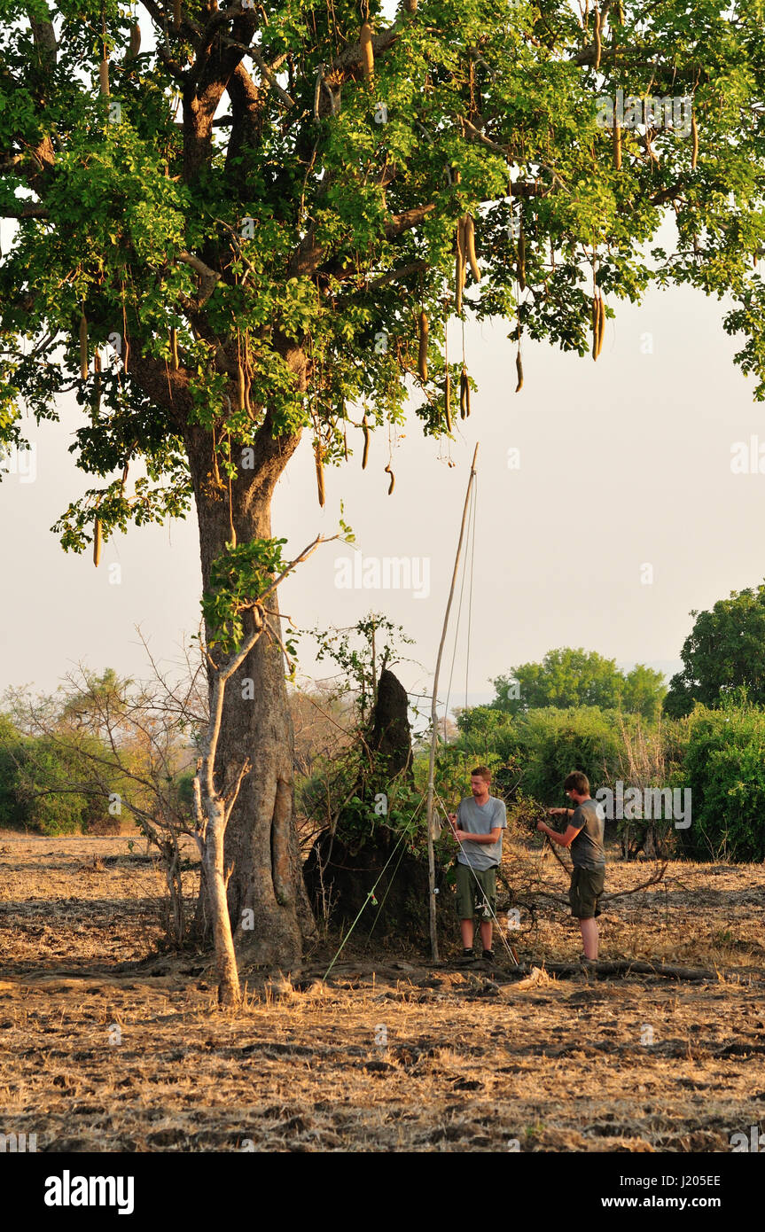 Setting up equipment for bat survey in Africa - Stock Image