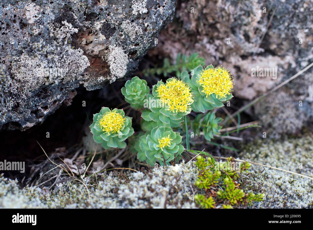 Burnirót (Rhodiola rosea) growing in Neshraun lava fields, Western Iceland. - Stock Image