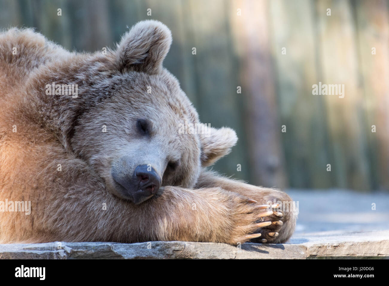 A tired brown bear sleeping in a zoo in Switzerland - Stock Image