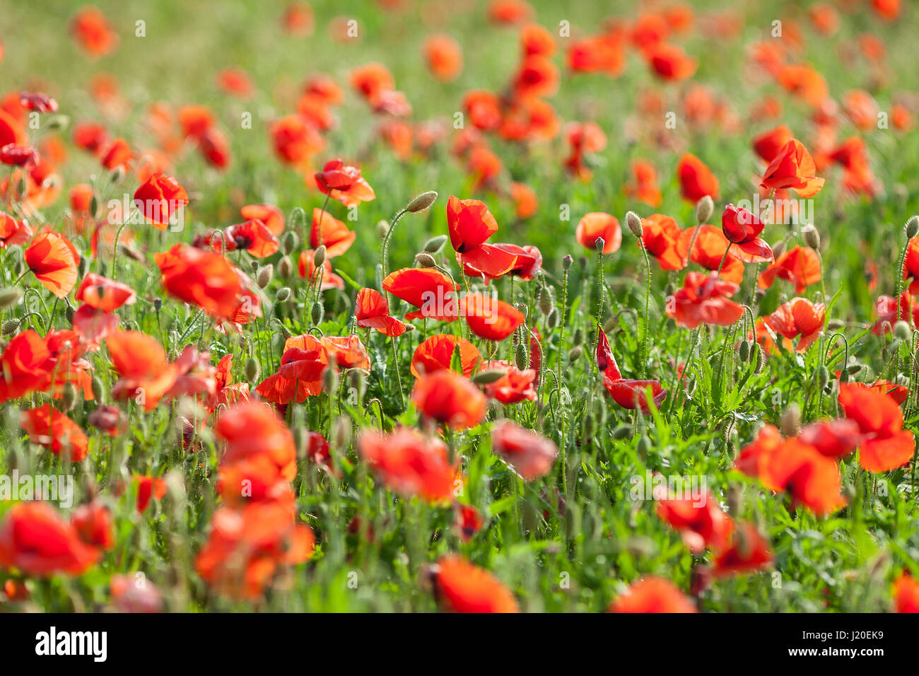 Poppy farming, nature, agriculture concept - industrial farming of poppy flowers - close-up on flowers and stems - Stock Image