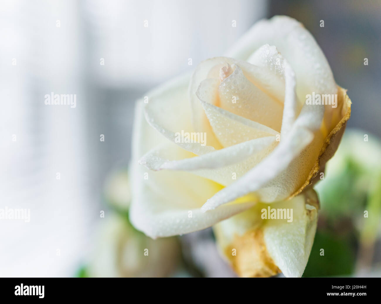 Side macro closeup of large wet white rose with rain dew drops Stock Photo