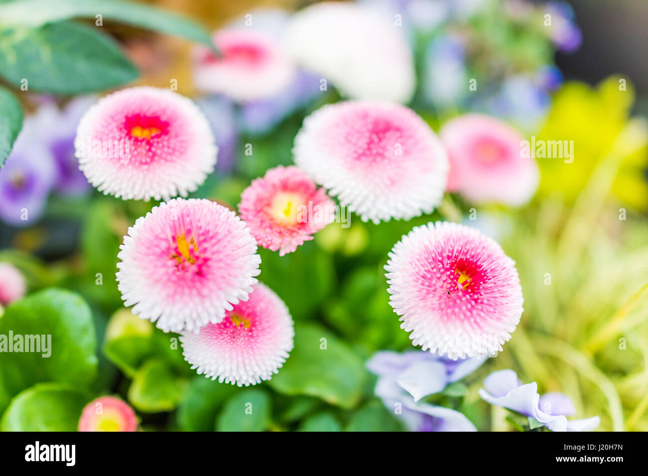 Daisy double daisy bellis perennis stock photos daisy double daisy english daisy or bellis perennis plant with colorful pink and white flowers macro closeup stock izmirmasajfo