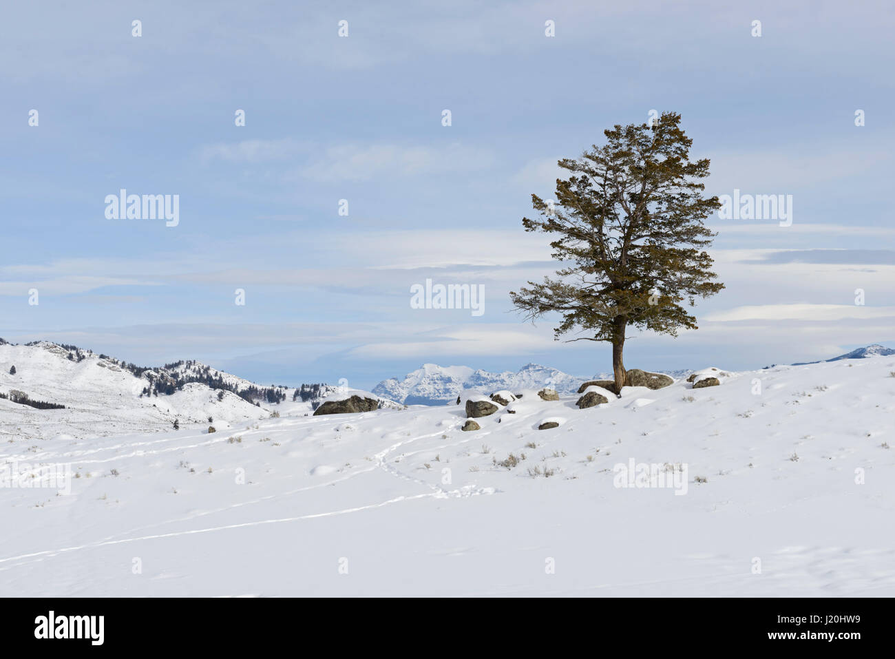 Lonely conifer tree on a little hill under blue sky on a nice day in the caldera of Yellowstone National Park, Winter - Stock Image