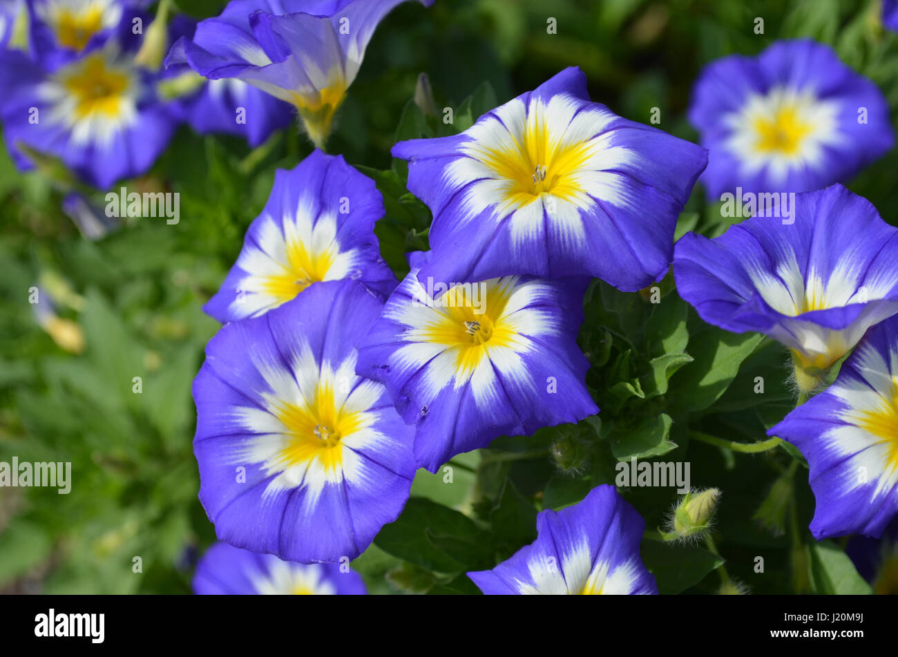 Gorgeous garden with blooming blue and yellow flowering morning glories. - Stock Image