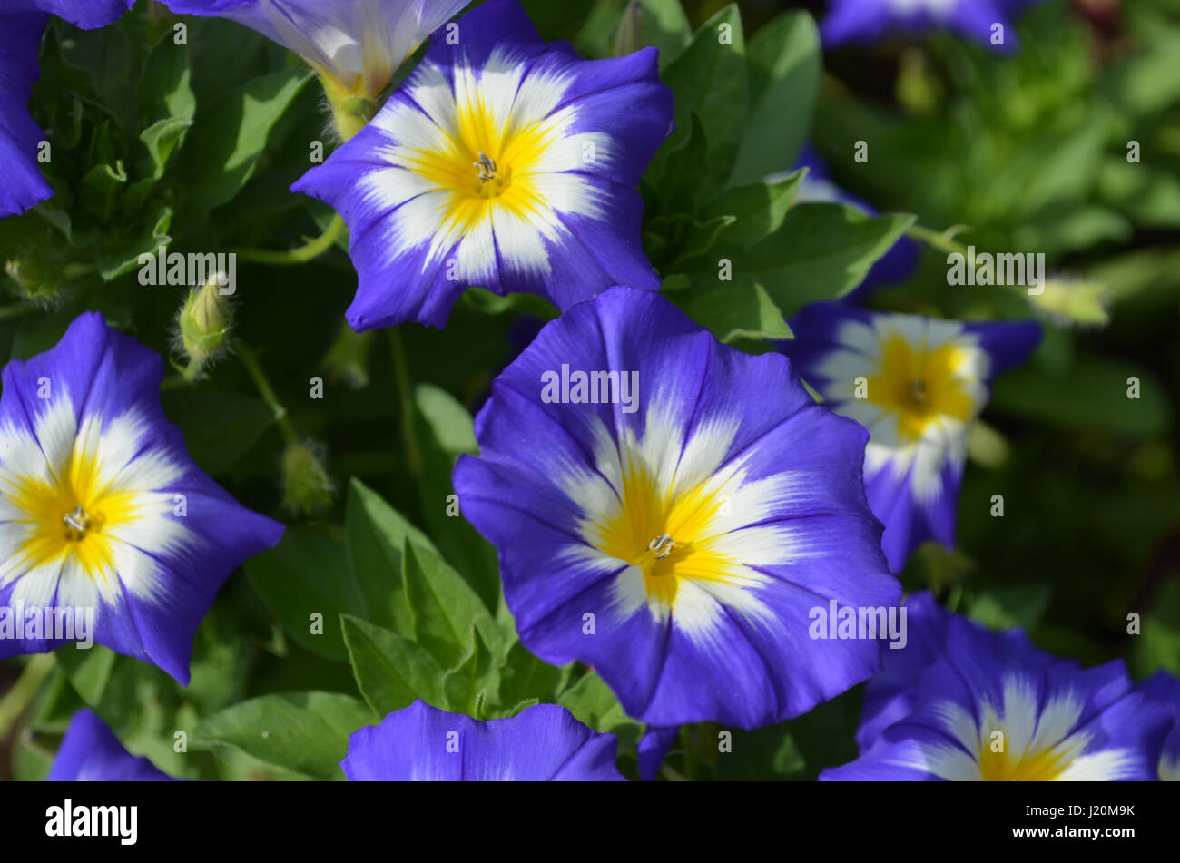 Pretty blue and yellow morning glories in a garden. - Stock Image