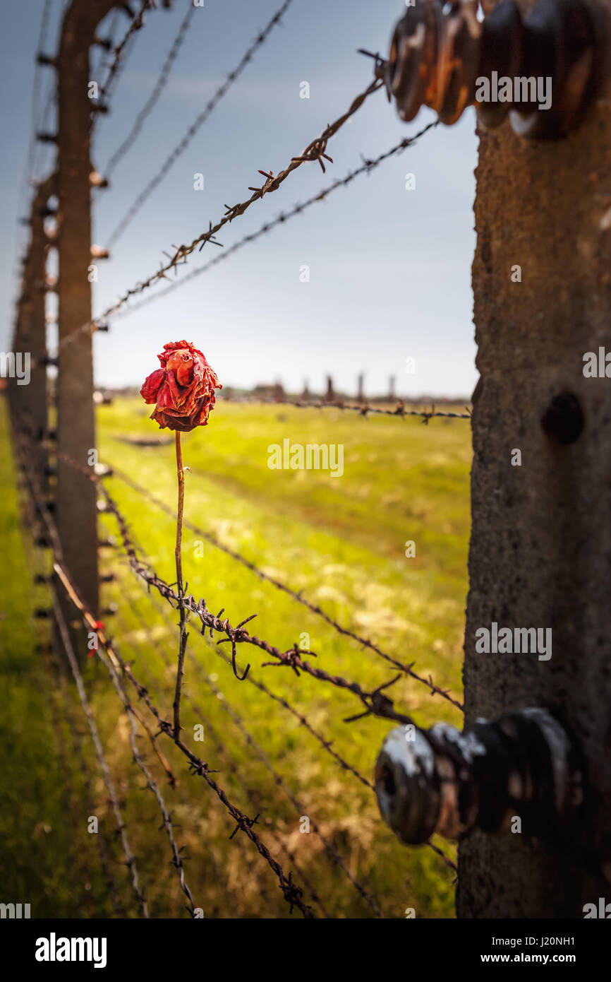 Dry rose on the Barbed Wire Fence in the concentration camp of Auschwitz Birkenau, Poland - Stock Image