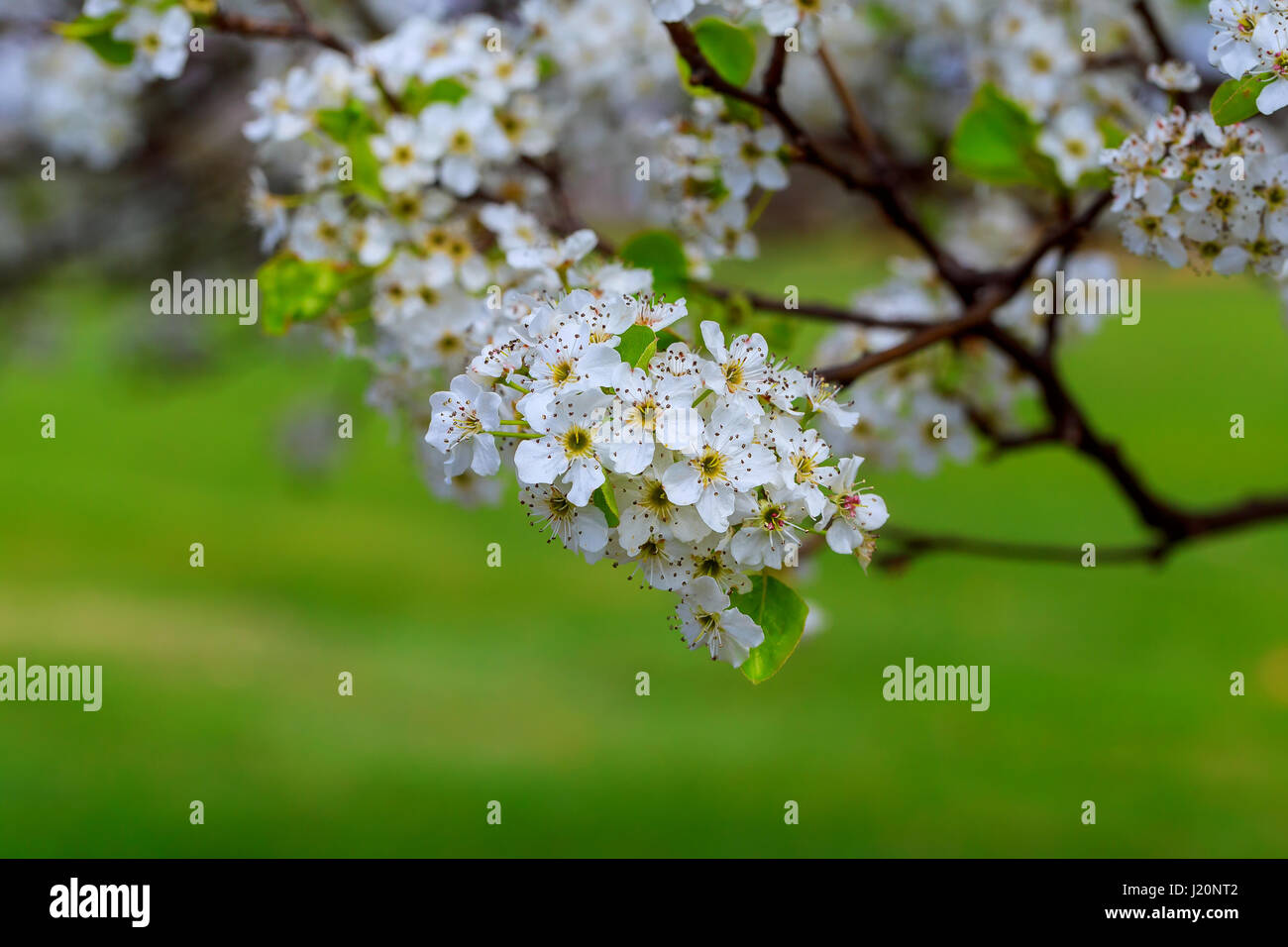 Blossoming Cherry Prunus avium , Ukraine, Eastern Europe Springtime season. Beautifully blossoming tree - Stock Image