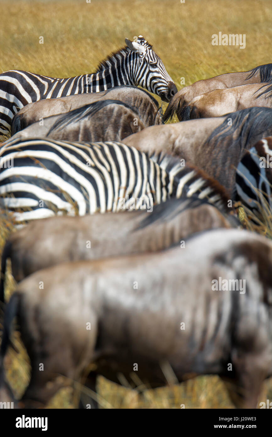 Mixture of herds of Buchell's Zebras, Equus quagga, and Wildebeest, Connochaetes gnou, during the Great Migration, Stock Photo