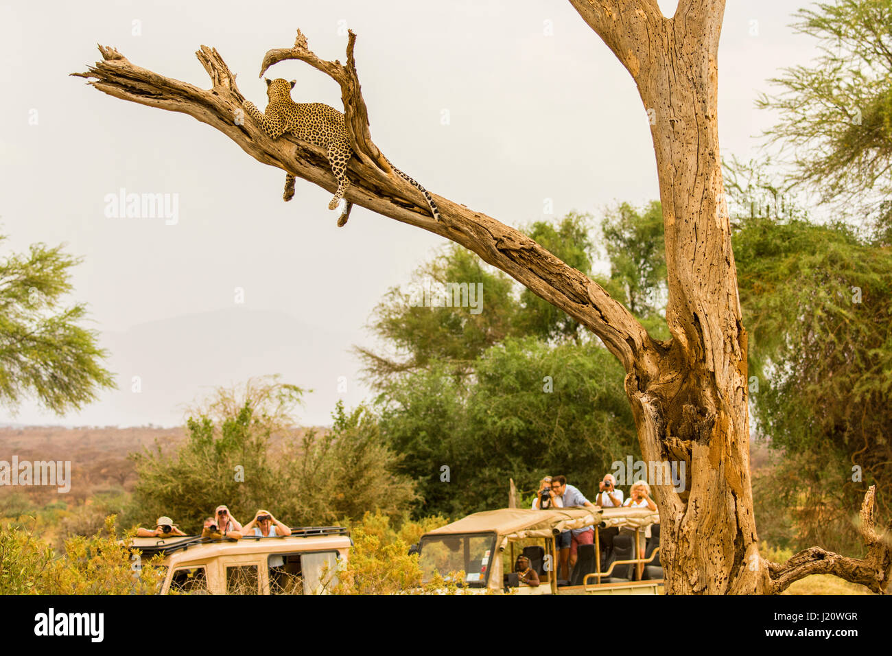 Tourists in safari vehicles watching an African Leopard, Panthera pardus, up in a tree in the Buffalo Springs Game - Stock Image