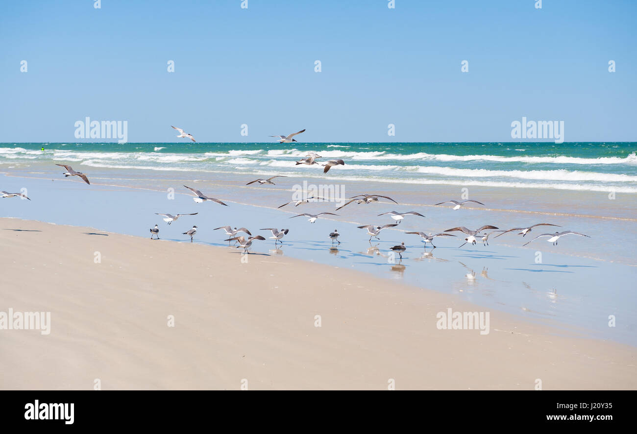 seagulls flock to the pristine white sand beaches of Captiva Island in sunny Florida and the aquamarine waves crash Stock Photo