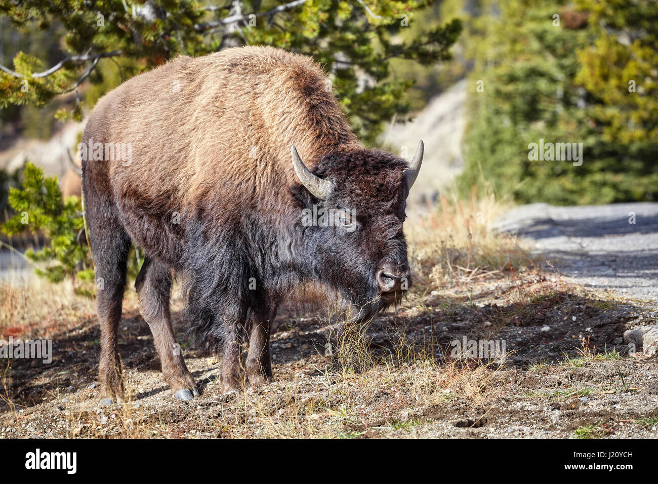 Young American bison (Bison bison) grazing in Yellowstone National Park, Wyoming, USA. - Stock Image