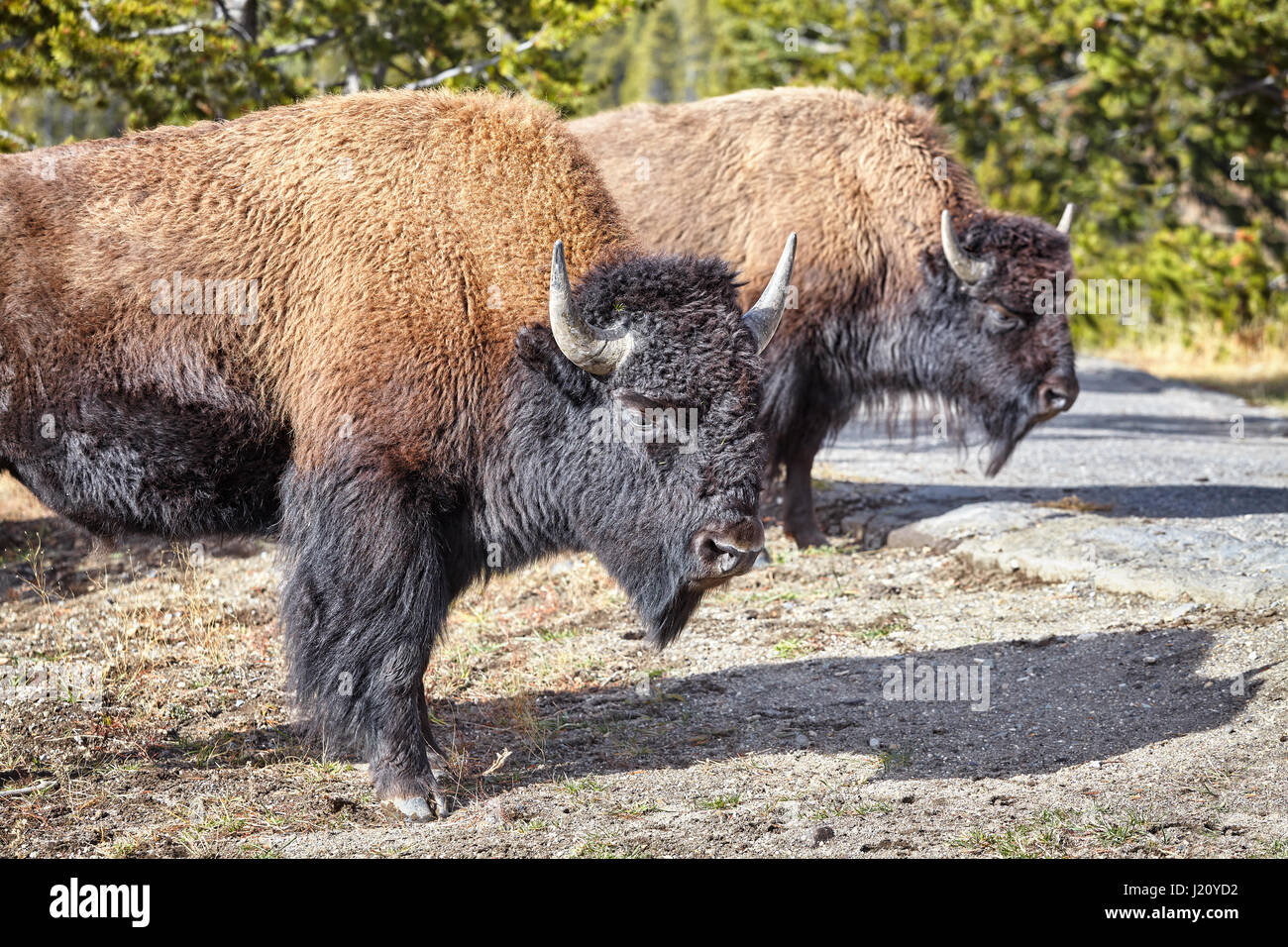 Two American bison (Bison bison) in Yellowstone National Park, Wyoming, USA. - Stock Image