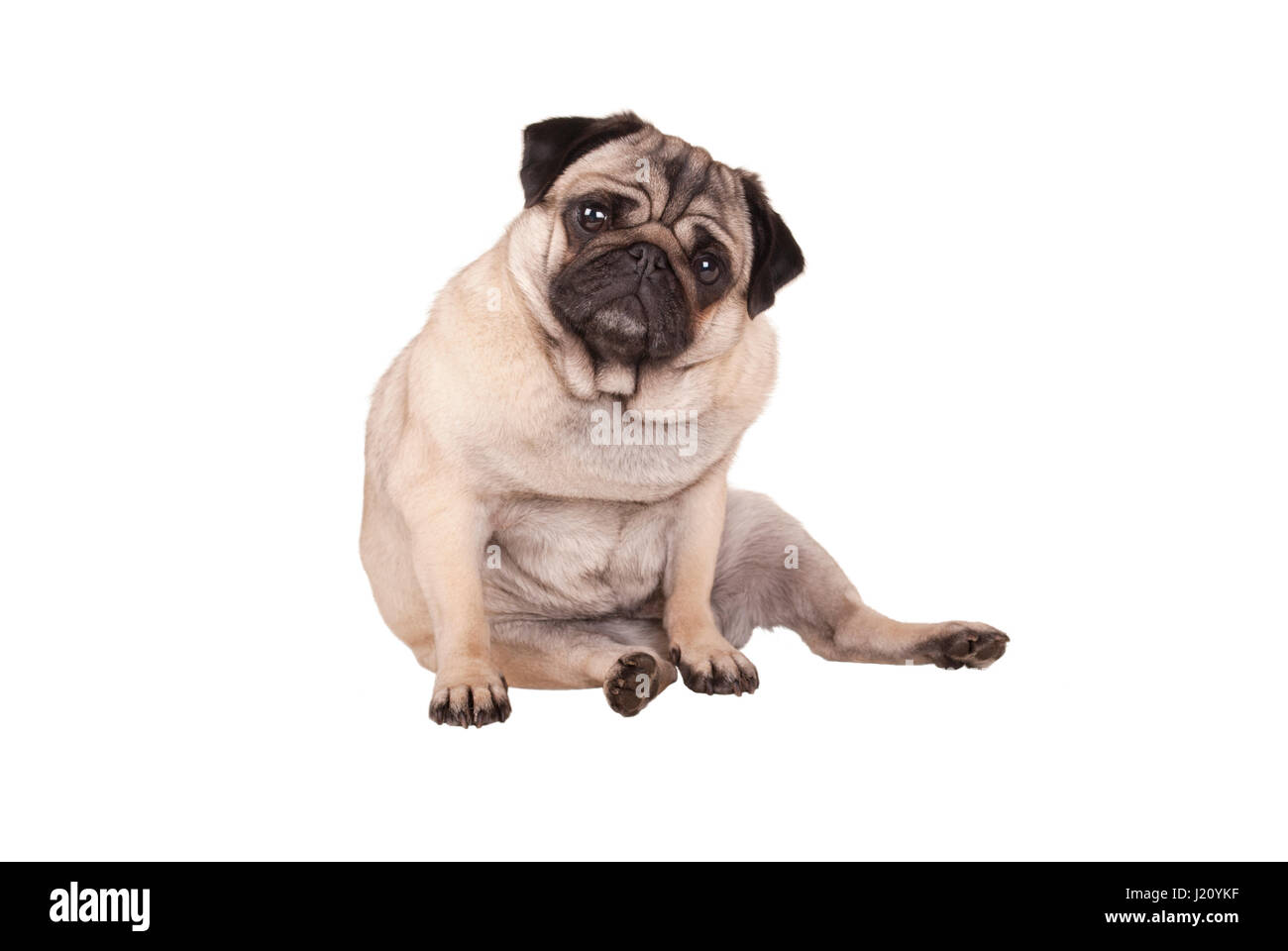 adorable cute pug puppy dog sitting down, isolated on white background Stock Photo