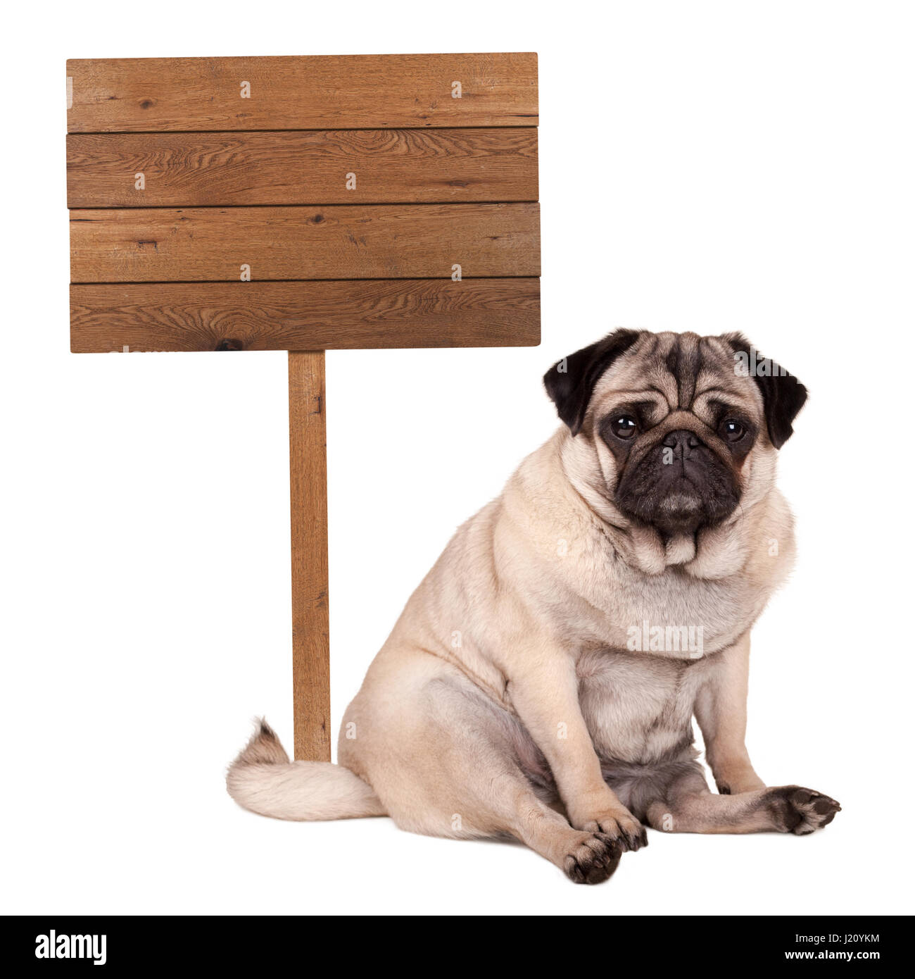 lovely cute pug puppy dog sitting down next to blank wooden sign on pole, isolated on white background Stock Photo