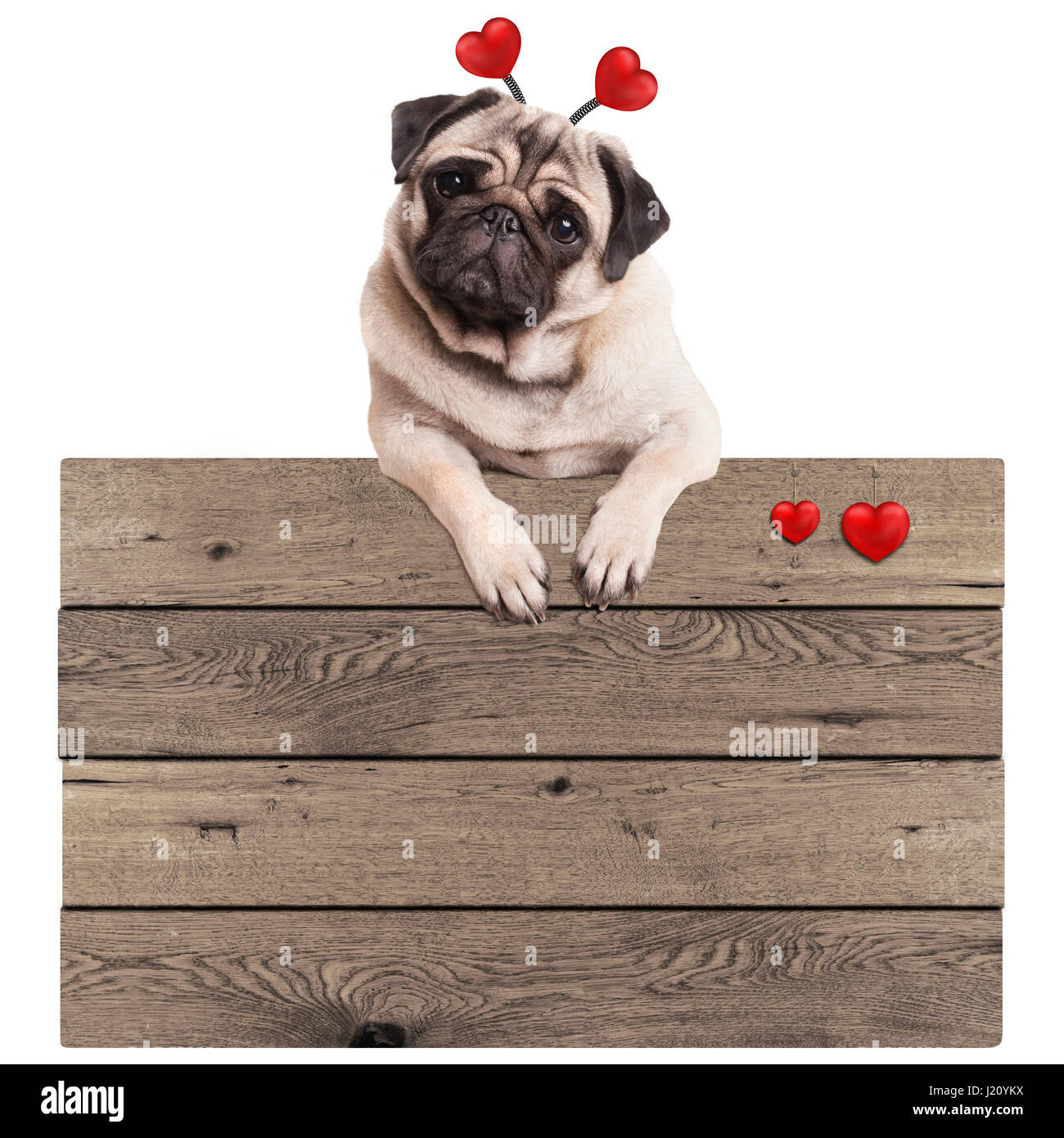 cute pug puppy dog hanging with paws on blank wooden vintage promotional sign with red hearts, isolated on white Stock Photo