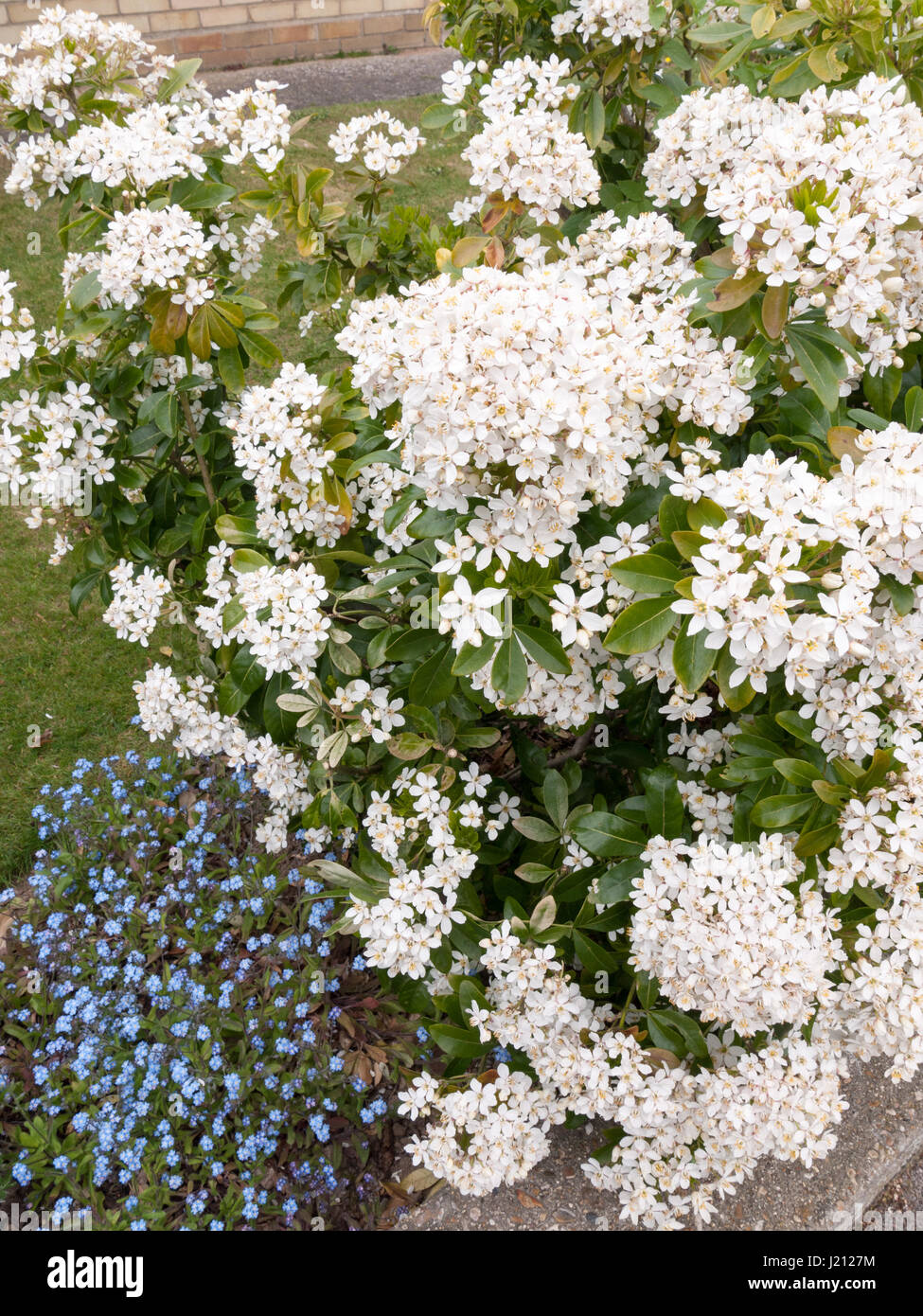 Beautiful Bush Of Bunches Of White Flower Heads In Spring Light With