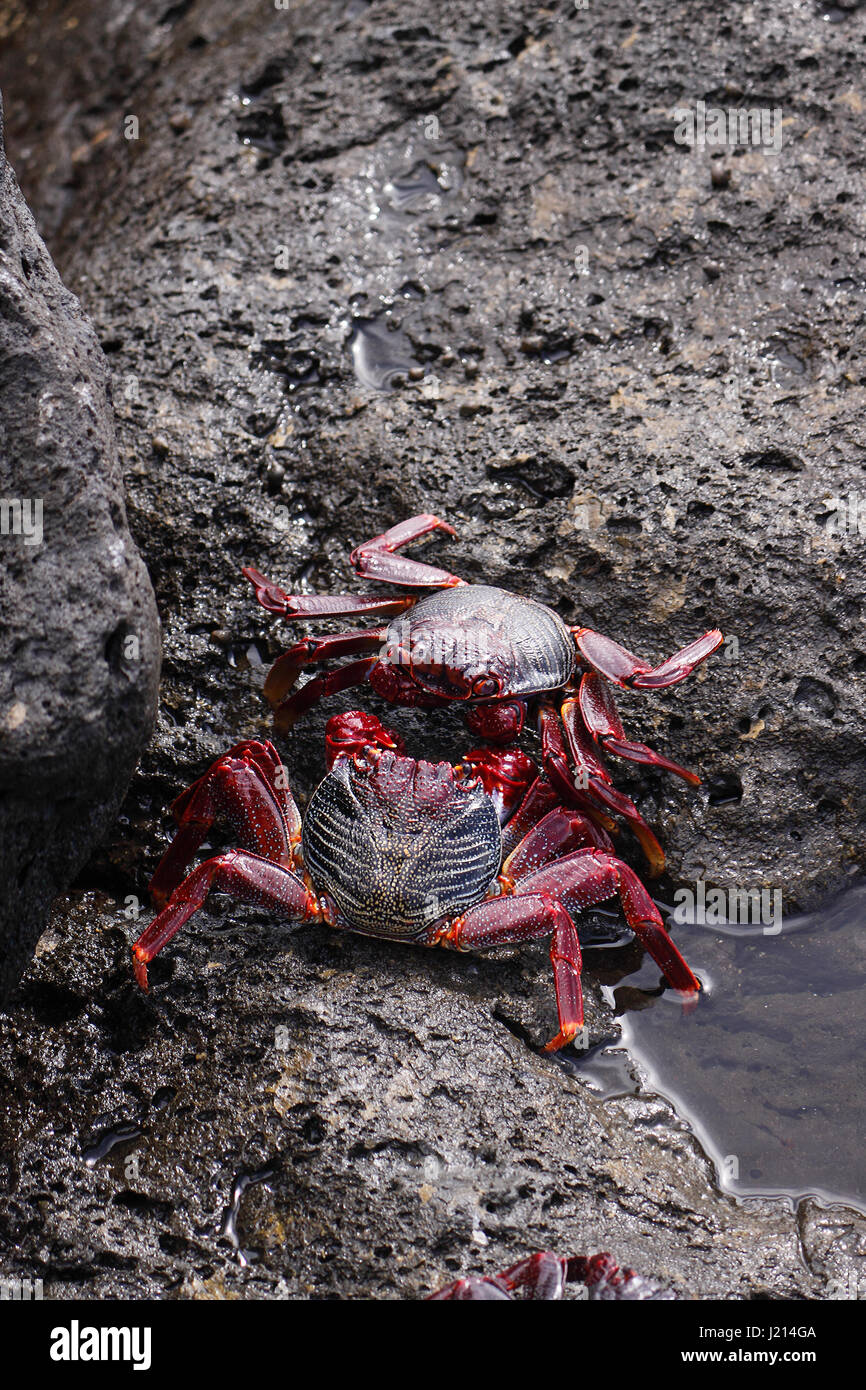 GRAPSUS ADSCENSIONIS . RED ROCK CRAB. SALLY LIGHTFOOT CRAB. BASKING ON ROCKS ON THE ISLAND OF LANZAROTE. Stock Photo