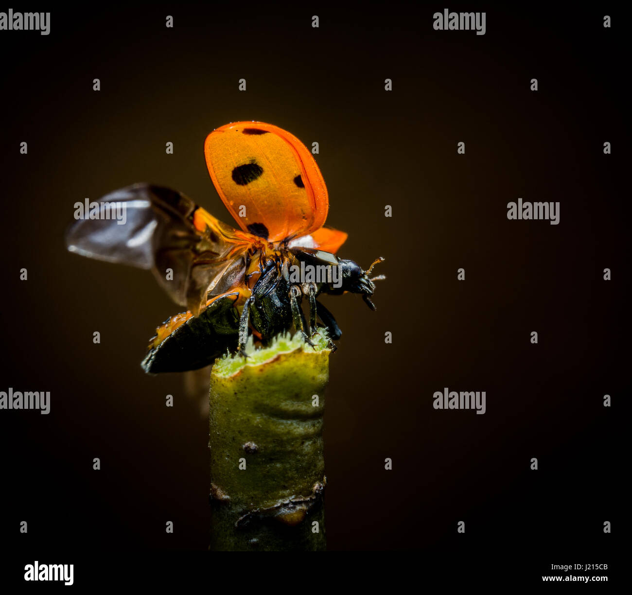 Beautiful ladybug starts takeoff from green twig macro photo - Stock Image
